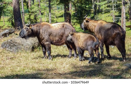Family of Takin, national animal of Bhutan. The 'Dong Gyem Tsey' or Takin has been chosen as the National Animal of Bhutan. It is associated to religious history and mythology of the country.