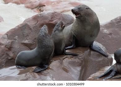 Family talk. Seals. Cape Cross, Namibia