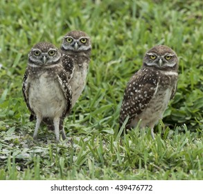 Family of three brown and white endangered burrowing owls with yellow eyes standing in green grass.
