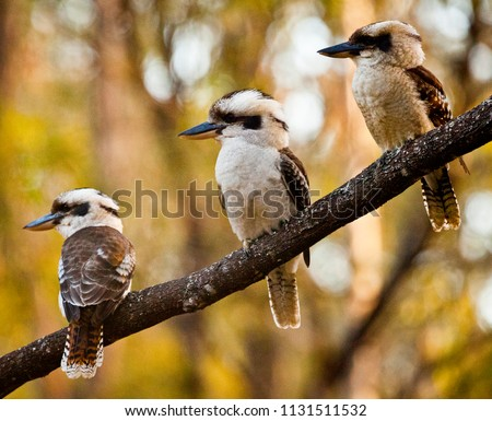 Family of three Kookaburras sitting on a wattle branch in front of green and gold wattle. Iconic Australian bird sat on Australia's national tree in front of Australia's national colours.