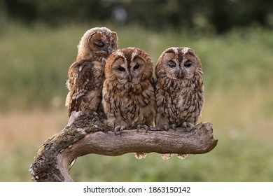 A family of three Tawny owls huddled together on a branch