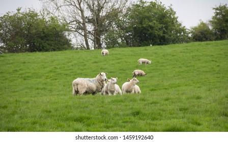 Shropshire Sheep Images, Stock Photos & Vectors | Shutterstock