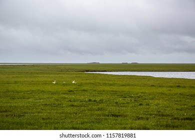 A family of Tundra Swans glow white against a stormy summer tundra while feeding in the arctic just south of Deadhorse Alaska off of the Dalton Highway.