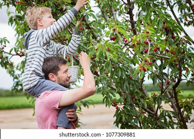 family of two, father and son, picking cherries in the tree orchard, son sitting on his father shoulders