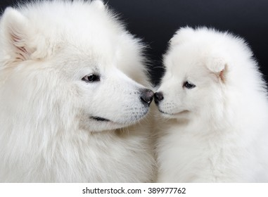 Family of two Samoyed dogs (isolated on a black background)
