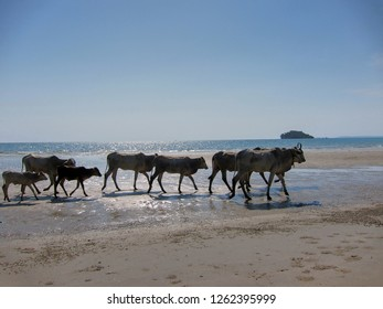 A family of water buffaloes walk across a beach in Sihanoukville, Cambodia