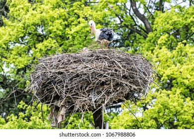 Family of White stork - Ciconia ciconia - in the nest. Bird watching. Red beak. Bird's nest.