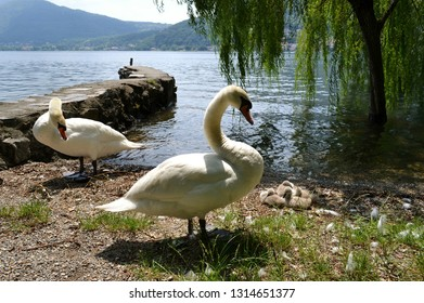 Family of white swans and young cygnets reposing on the lakeshore at the Garlate lake near Lecco in a sunny summer day with old stones wall in background and long green branches of trees.