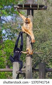 Family of white-handed gibbon monkey