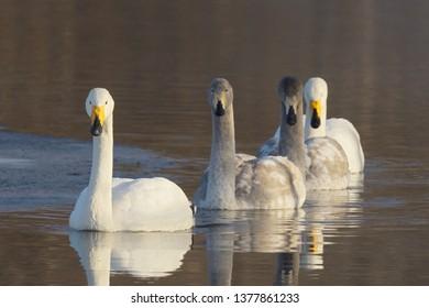 Family of Whooper Swan (Cygnus Cygnus) adults and cygnets swimming together in Lake Kussharo, Hokkaido Island, Japan.