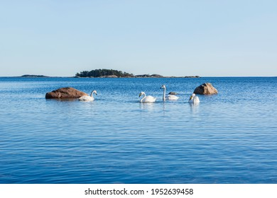 Family  of whooper swans (Cygnus cygnus) in the sea water, Hanko, Finland