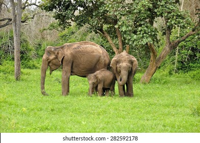 A family of wild asian elephants in India