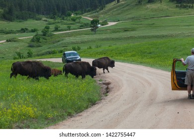 A family of wild bison crossing a dirt road through the prairie as tourists in cars stop and watch them walk.