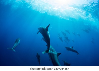 A family of wild dolphins playing in the clear ocean waters. Mauritius, Indian Ocean