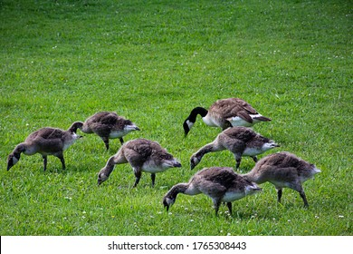 A family of wild geese peck on a green meadow.