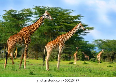 Family of wild giraffes on the lake Naivasha. Africa. Kenya