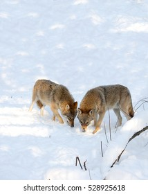The family of wolves follows in the tracks