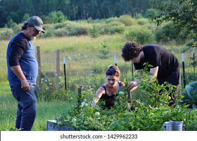 A family working together staking up tomato plants in an organic garden plot during the middle of summer in Northern Michigan, growing our food.