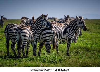 Family of zebras grazing in the tall grasses of the Serengeti