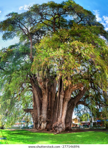 Famous 2000 year old Montezuma cypress tree, known as the 'The Tree of Tule' located in Santa Maria del Tule, Mexico. It is one of the oldest, largest and widest trees in the world
