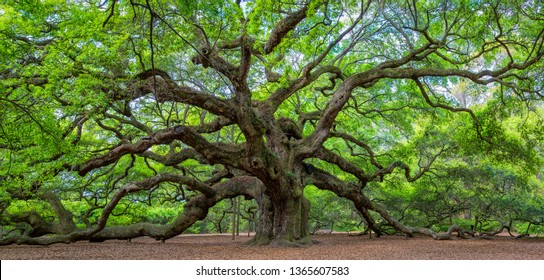 The famous Angel Oak, outside of Charleston, South Carolina. The tree is at least 400 years old (some claim 1,500), with a circumference of 28 feet.