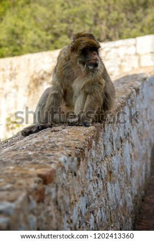 The famous apes of Gibraltar, located in the upper Rock nature reserve . Gibraltar is a British Overseas Territory located on the southern tip of Spain.