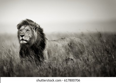 Famous and beautiful Lion Caesar looking to his chasing pride in Masai Mara, Kenya