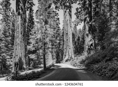 the famous big sequoia trees are standing in Sequoia National Park, Giant village area , big famous Sequoia trees, mammut trees