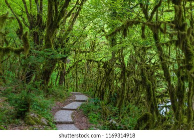 Famous Boxwood, Buxus colchica, subtropical forest covered moss. With a stone path through it. Black sea cost. Relict tree forest