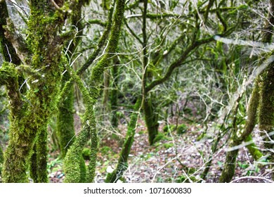 Famous Boxwood Colchis (Buxus colchica) subtropical evergreen covered Neckera moss, vegetable relink pre-glacial Europe, saw Odysseus. Iron wood, not sink in water. Colchis. East shore of Black sea