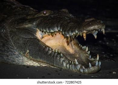 The famous crocodile of Coiba island, Panama, Central America.  Crocodile portrait. Reptile. Eating crocodile.