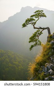 Famous curved pine tree on the top of Sokolica peak in Pieniny, Poland. Vertical orientation.