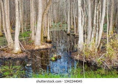Famous cypress and tupelo swamp in South Carolina in springtime, USA
