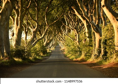 The Famous Dark Hedges, of Northern Ireland, at sunrise.