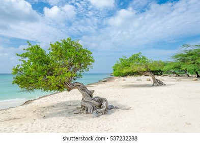 The famous Divi Divi tree which is Aruba's natural compass, always pointing in a southwesterly direction due to the trade winds that blow across the island