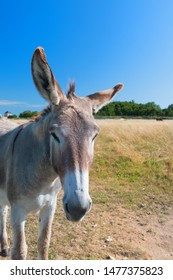 Famous donkey with long shaggy hair in French island Ile de Re