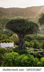 """Famous """"Drago Milenario"""" in Spanish village of Icod de los Vinos, is the oldest and largest living specimen of Dracaena draco, or dragon tree, in Parque del Drago, Icod de los Vinos, Tenerife, Spain. - Shutterstock ID 1691551867"""