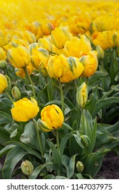 famous Dutch flower fields during flowering - rows of yellow tulips