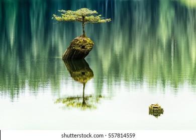 Famous Fir Bonsai - Beautiful Fir Bonsai on the abandoned old tree stump 2. Fairy Lake,Port Renfrew.