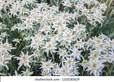 Famous flower Edelweiss (Leontopodium alpinum), symbol of alps, mountains. Shallow depth of field. Symbol of luck,inaccessibility and fortune. A lot of small white hairy flowers  in the shape of stars