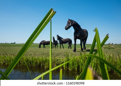 Famous Frisian horses in Friesland province, Holland.