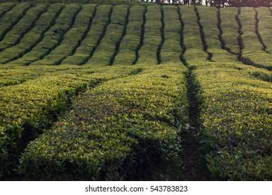 Famous Gorreana tea fields in Sao Miguel island, Azores, Portugal.
