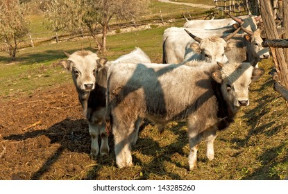 Famous Hungarian grey cattles