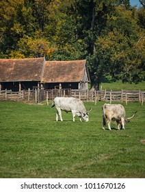 Famous Hungarian grey cattles on the farm