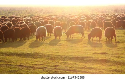 Famous Hungarian racka sheeps in field against sunset, Hortobagy National Park, Hungary
