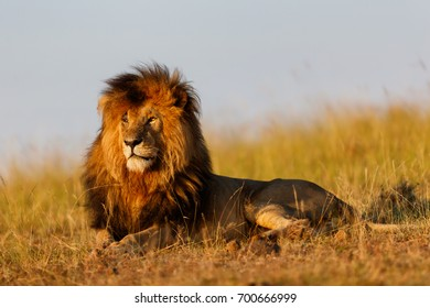 Famous Lion Scarface enjoys the first rays of sunshine in Masai Mara, Kenya
