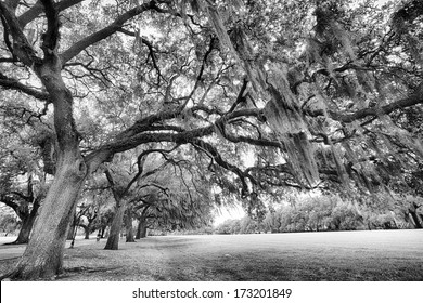The famous live Southern Live Oaks covered in Spanish Moss growing in Savannah's historic squares. Savannah, Georgia