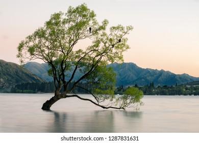 The famous lone Wanaka tree, Wanaka, Newzealand