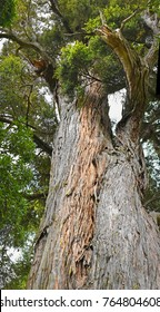 Famous Mills Totara Tree at Peel Forest South Canterbury, New Zealand. Over a thousand years old.