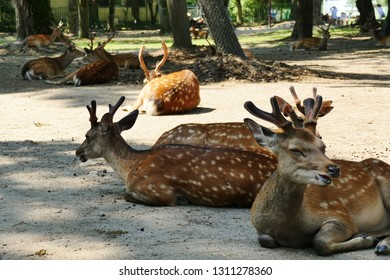 The famous Nara deer relaxing in the sunshine near Nara Park, Nara, Japan